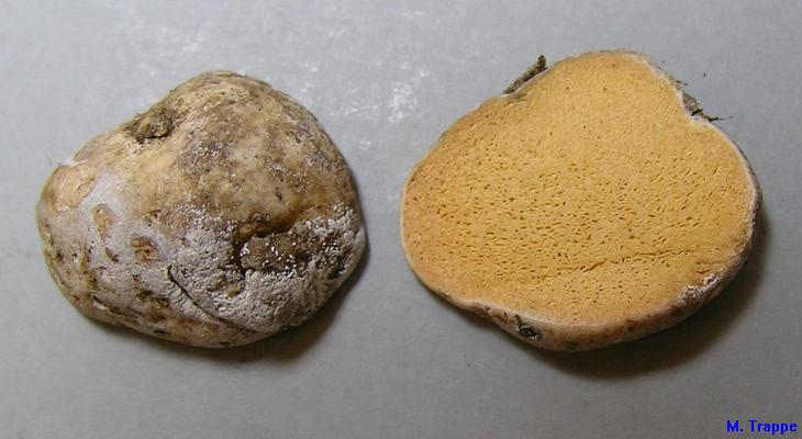 Gymnomyces abietis